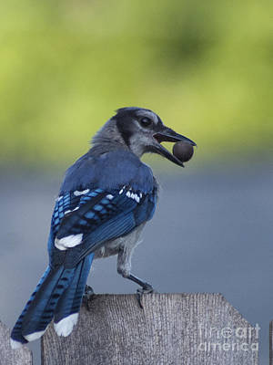 Photograph - Blue Jay With Acorn by D Wallace