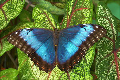 Caladiums Photograph - Blue Morpho Butterfly, Morpho by Darrell Gulin