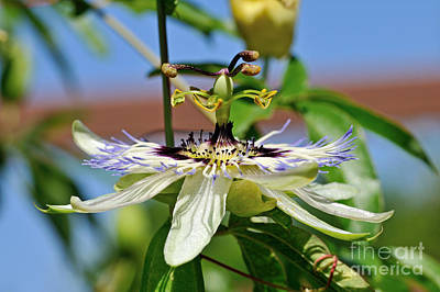 Photograph - Blue Passion Flower by George Atsametakis