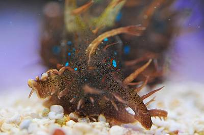 Photograph - Blue Spot Sea Hare by Puzzles Shum