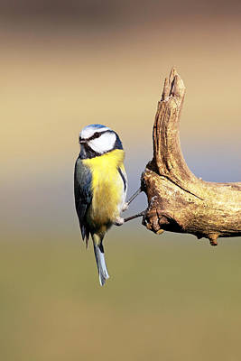 Photograph - Blue Tit by Grant Glendinning
