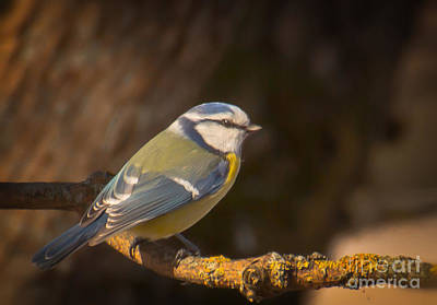 Photograph - Blue Tit by Sylvia  Niklasson