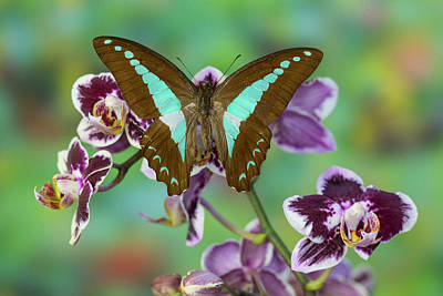 Blue Swallowtail Photograph - Blue Triangle Butterfly, Graphium by Darrell Gulin