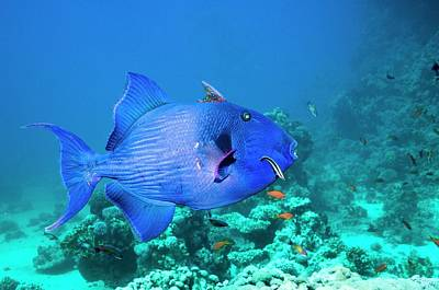 Triggerfish Photograph - Blue Triggerfish And Cleaner Wrasse by Georgette Douwma