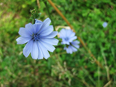 Photograph - Blue Wild Flower by Alexandros Daskalakis