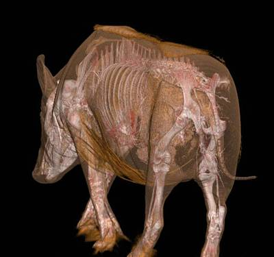 Boar Photograph - Boar Anatomy by Anders Persson, Cmiv