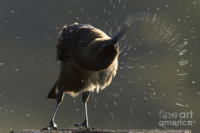 Photograph - Boat Tailed Grackle by Meg Rousher