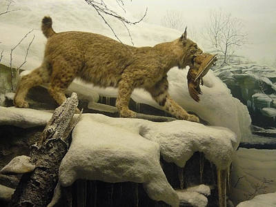 Photograph - Bobcat Diorama by Mary Ann  Leitch