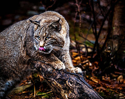 Photograph - Bobcat by Jim DeLillo