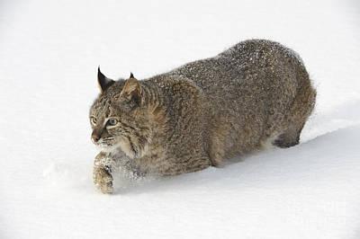 Bobcat Art Print by John Shaw