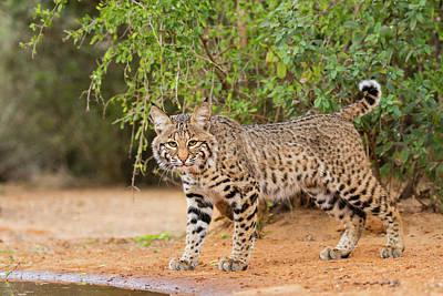 Bobcat Wall Art - Photograph - Bobcat, Lynx Rufus, Drinking by Larry Ditto