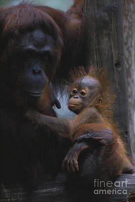 Bornean Orangutan Art Print