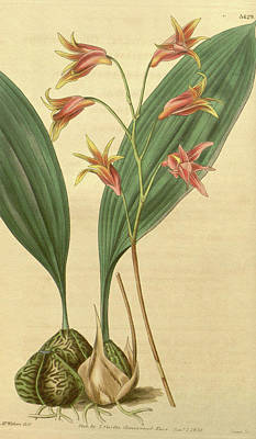 Botanical Print By Augusta Innes  Withers Née Baker Art Print