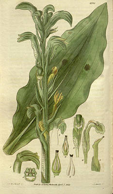 Blooming Drawing - Botanical Print By Sir William  Jackson Hooker by Quint Lox