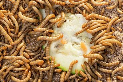 Consumption Photograph - Breeding Insects For Human Consumption by Philippe Psaila