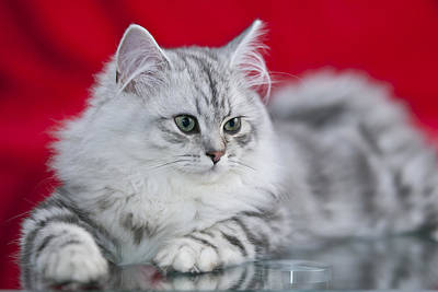 Felidae Photograph - British Longhair Kitten by Melanie Viola