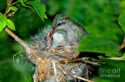 Broad-billed Hummingbirds Photograph - Broad-billed Hummingbird And Young by Anthony Mercieca