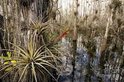 Bromeliad Tillandsia Fasciculata Art Print