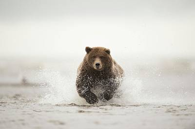Photograph - Brown Bear by Dr P. Marazzi