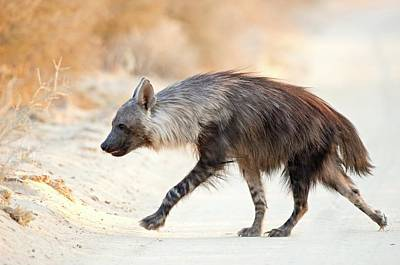 Omnivore Photograph - Brown Hyena by Tony Camacho