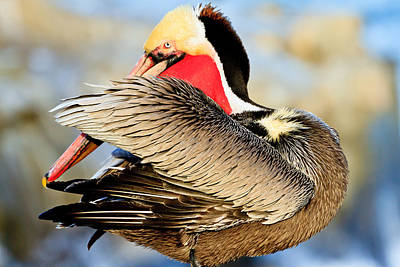 Photograph - Brown Pelican by Ben Graham