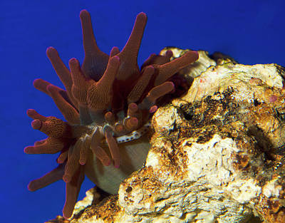 Sea Anemone Photograph - Bubble-tip Anemone by Nigel Downer