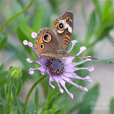 Buckeye Butterfly Photograph - Buckeye Butterfly Square by Carol Groenen