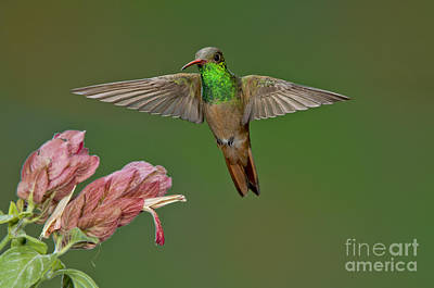 Amazilia Photograph - Buff-bellied Hummingbird by Anthony Mercieca
