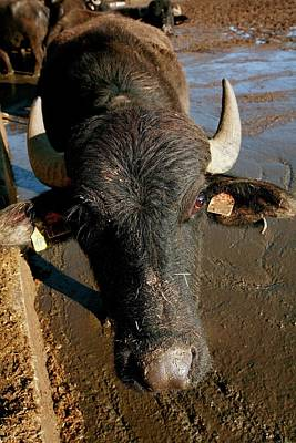 Water Buffalo Wall Art - Photograph - Buffalo by Mauro Fermariello/science Photo Library