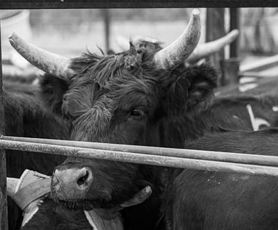 Photograph - Bulls by Amber Kresge