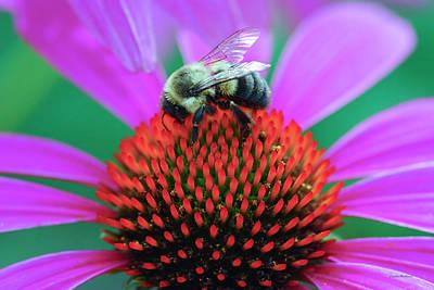 Bumblebee On Flower Art Print