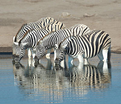 Burchells Zebras Equus Quagga Art Print by Panoramic Images