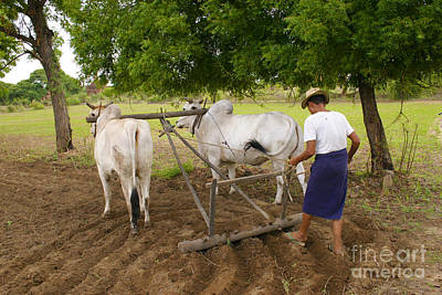 Photograph - Burmese Farmer Ploughing The Field To Be Ready For The Wet Season Old Bagan Burma by Ralph A  Ledergerber-Photography
