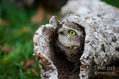 Animals Royalty-Free and Rights-Managed Images - Burrowing Owl  by Nick  Biemans
