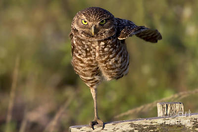 Photograph - Burrowing Owl Photograph by Meg Rousher