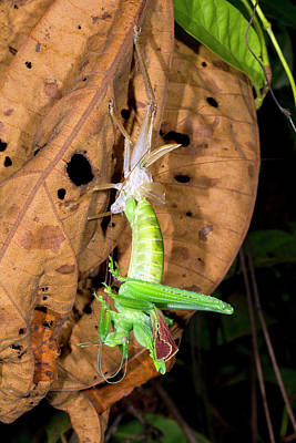 Bush Cricket Shedding Its Skin Art Print by Dr Morley Read