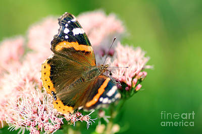 Decorating Photograph - Butterfly by Michal Bednarek