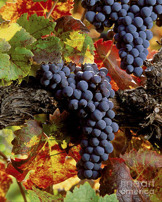 Photograph - Cabernet Sauvignon Clusters by Craig Lovell