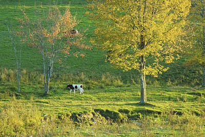 Maine Meadow Photograph - Calf On A Farm Fall Maine by Keith Webber Jr
