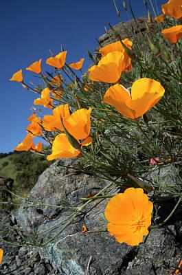 California Poppies, California Central Art Print by Rob Sheppard