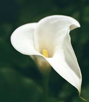 Calla Lilly Art Print by Cathie Tyler