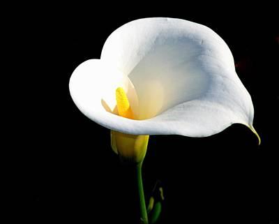 Photograph - Calla Lily by AJ  Schibig