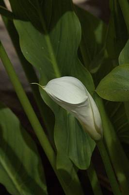 Photograph - Calla Lily by Elery Oxford