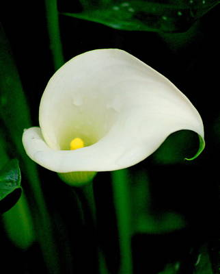 Photograph - Calla Lily by Kathy Sampson