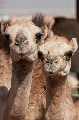 Camel Photograph - Camels At The Camel Market In Al Ain by Michael Defreitas