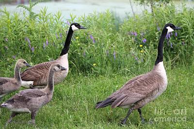 Photograph - Canada Geese by J McCombie