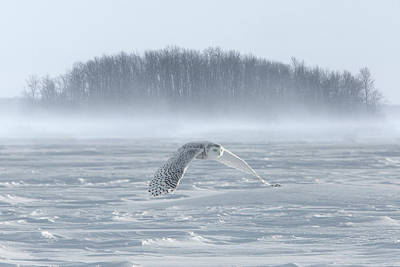 Snowy Owl Photograph - Canada, Ontario, Barrie by Jaynes Gallery