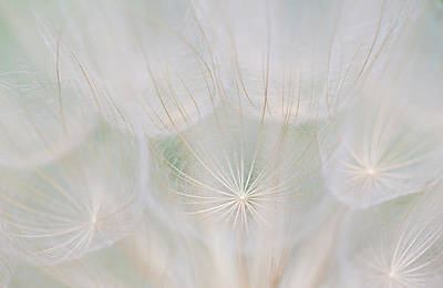 Salsify Wall Art - Photograph - Canada, Quebec, Mount St-bruno by Jaynes Gallery