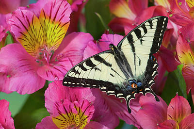 Tiger Swallowtail Photograph - Canadian Tiger Swallowtail Butterfly by Darrell Gulin