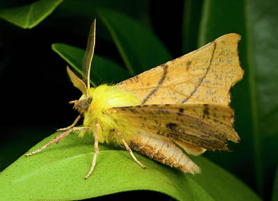 Canary-shouldered Thorn Moth Art Print
